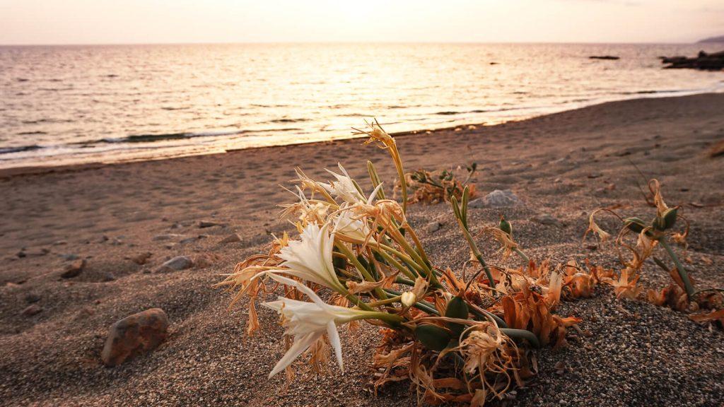 Jūrinės lelijos saulėlydžio spinduliuose. Kreta, Graikija | Mano Kreta