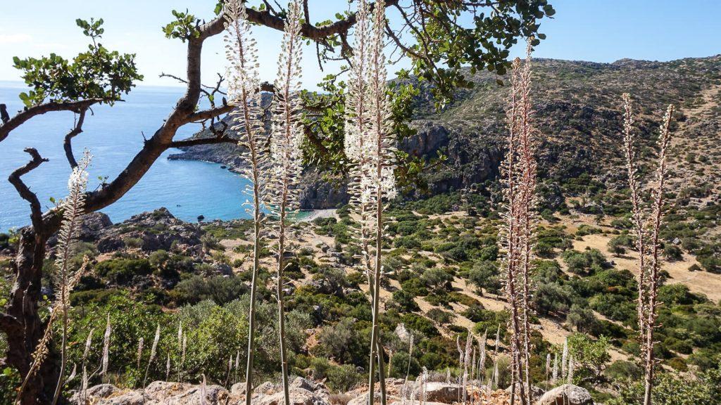 Puošnūs jūrsvogūnio žiedai jūros pakrantėje. Kreta, Graikija   Mano Kreta