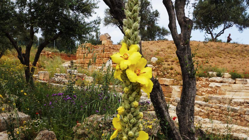 Tūbė – Kretiečiai ją vadina 'verbasku'. Kreta, Graikija | Mano Kreta