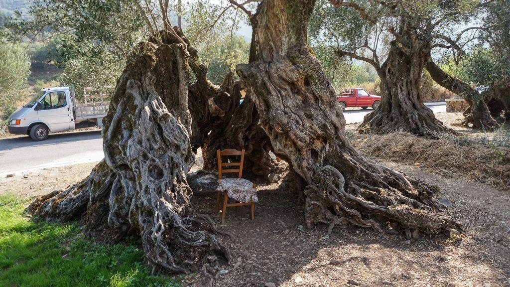Tūkstantmečiai alyvmedžiai. Kreta, Graikija | Mano Kreta
