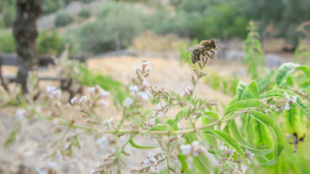 Citrininė verbena. Bitės renka medų. Kreta, Graikija | Mano Kreta