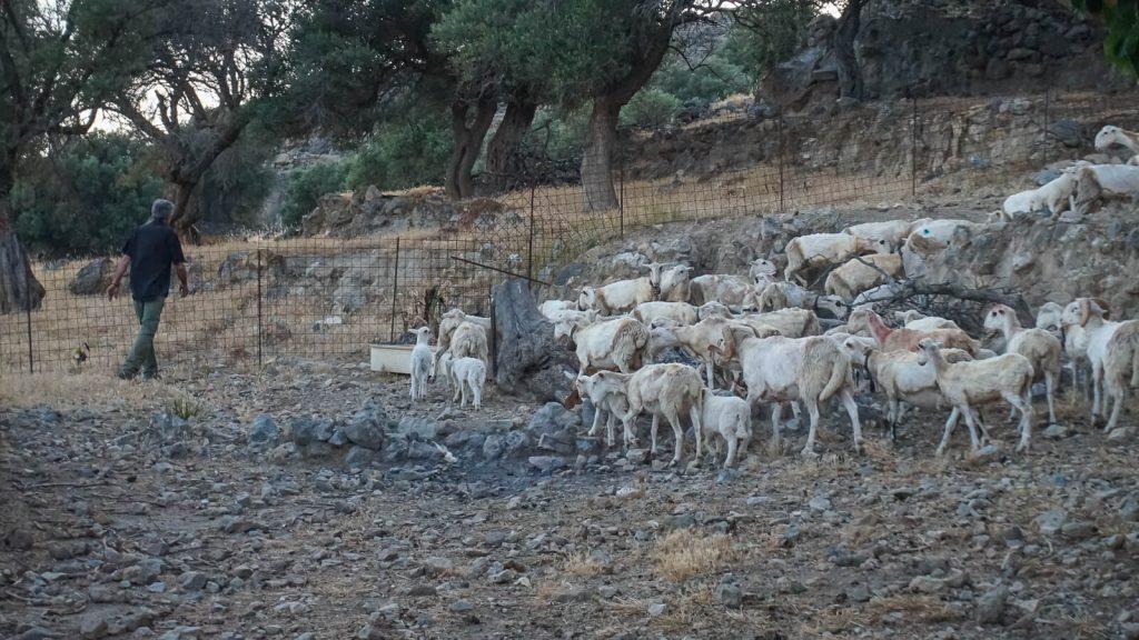 Kretos kalnų ritualas. Visa avių banda po kirpimo. Kreta, Graikija | Mano Kreta